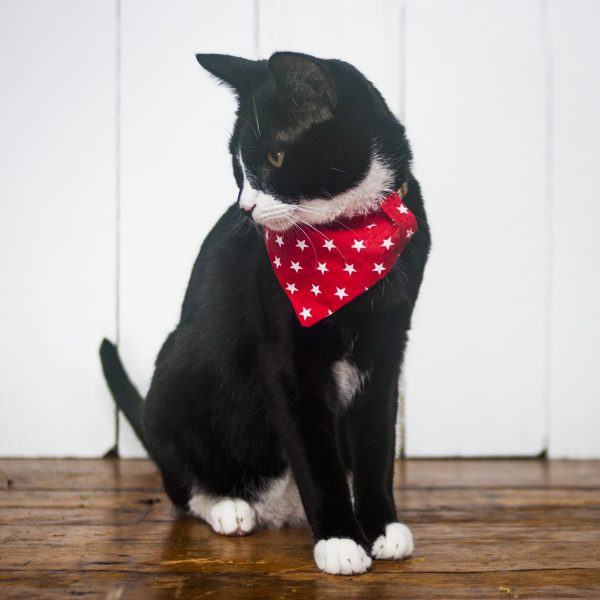 cat in a bandana